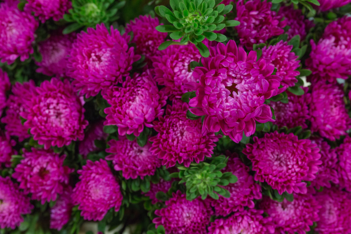 New Covent Garden Flower Market September 2017 Flower Market Report Rona Wheeldon Flowerona Asters Callistephus At Dennis Edwards Flowers 14