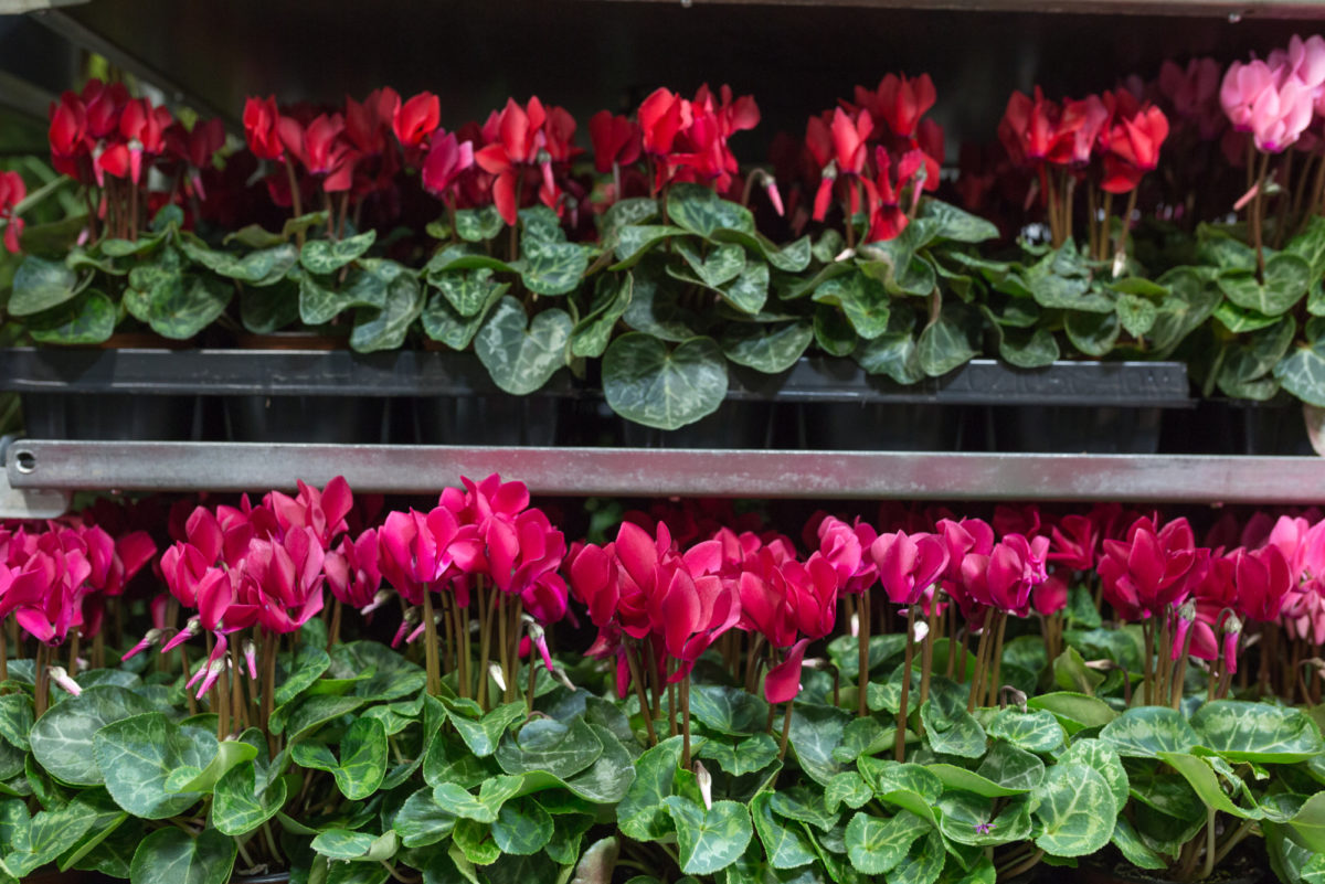 New Covent Garden Flower Market September 2017 Flower Market Report Rona Wheeldon Flowerona Mini Cyclamen Plants At Evergreen 27