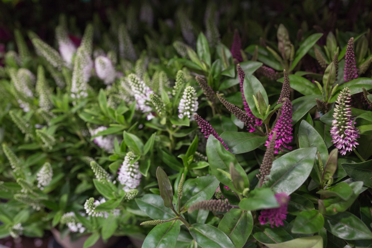 New Covent Garden Flower Market September 2017 Flower Market Report Rona Wheeldon Flowerona White And Pink Hebe Plants At Quality Plants 31