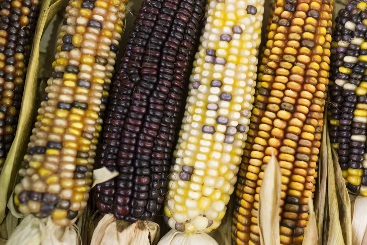 Fruit And Veg Market Report October 2016 Coloured Sweetcorn