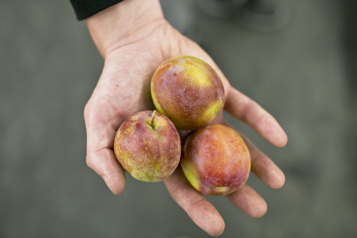 Fruit And Vegetable Market Report August 2014 Victoria Plums
