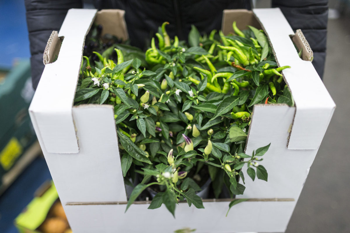 Fruit And Vegetable Market Report July 2016 Chilli Plants