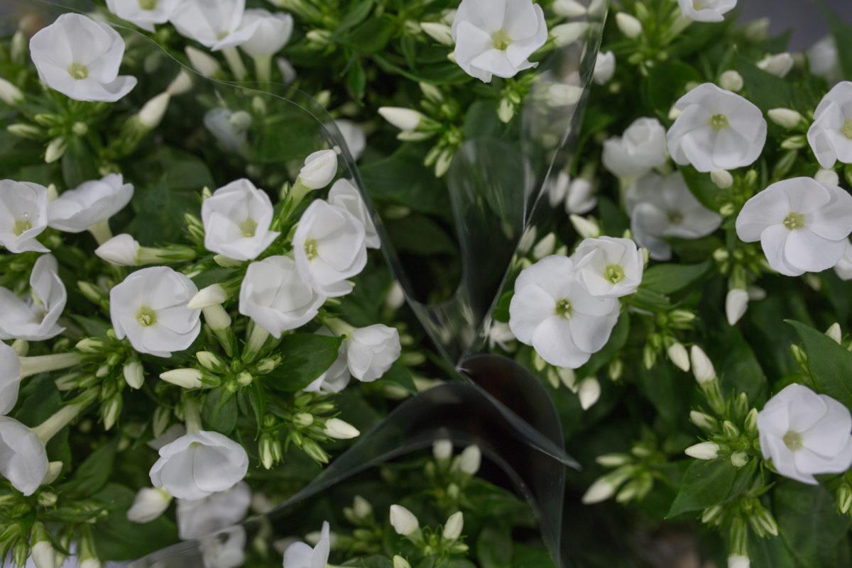Danielle Phlox At Zest Flowers