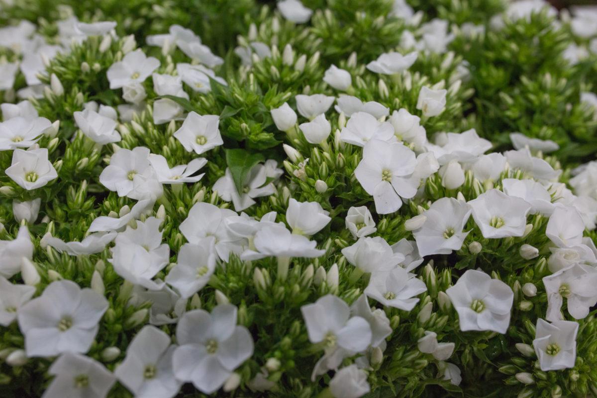 Icecap Phlox At Db Wholesale Flowers