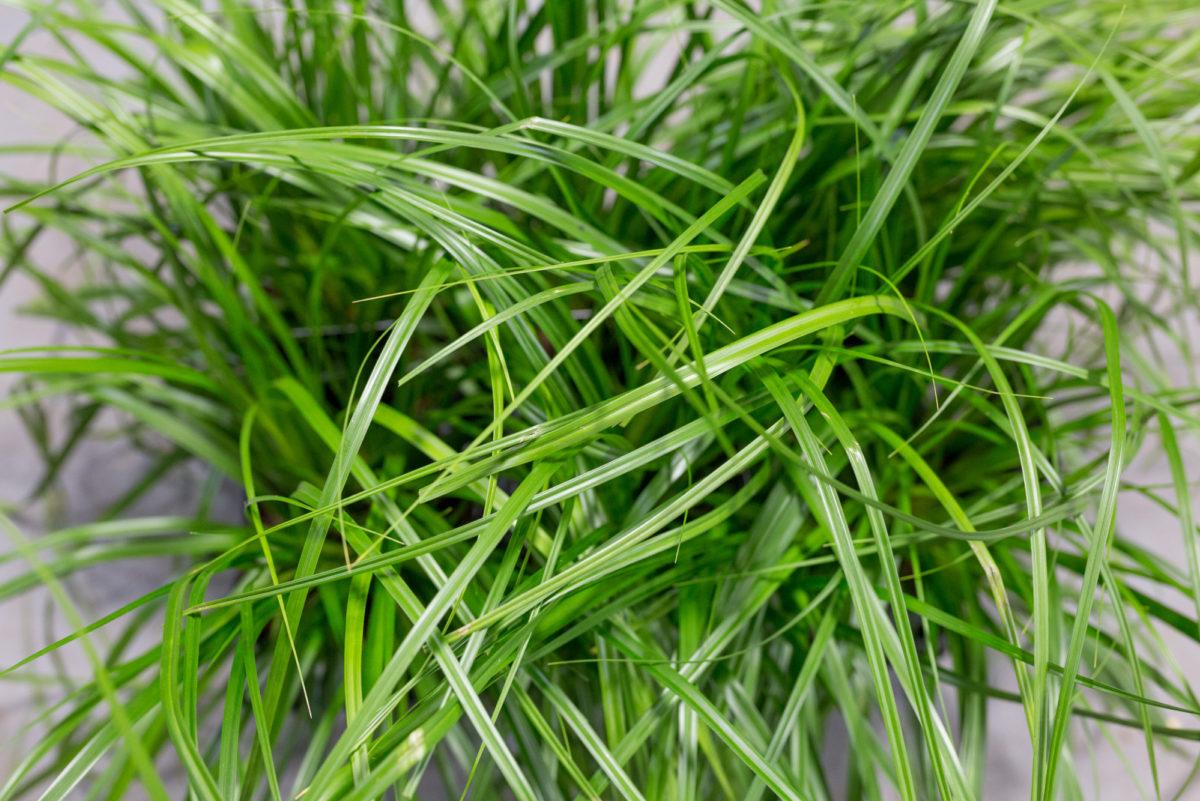 New Covent Garden Flower Market Product Profile Report August 2017 Grasses Carex Oshimensis Ôçÿ Evergreenôçö Plants At Evergreen