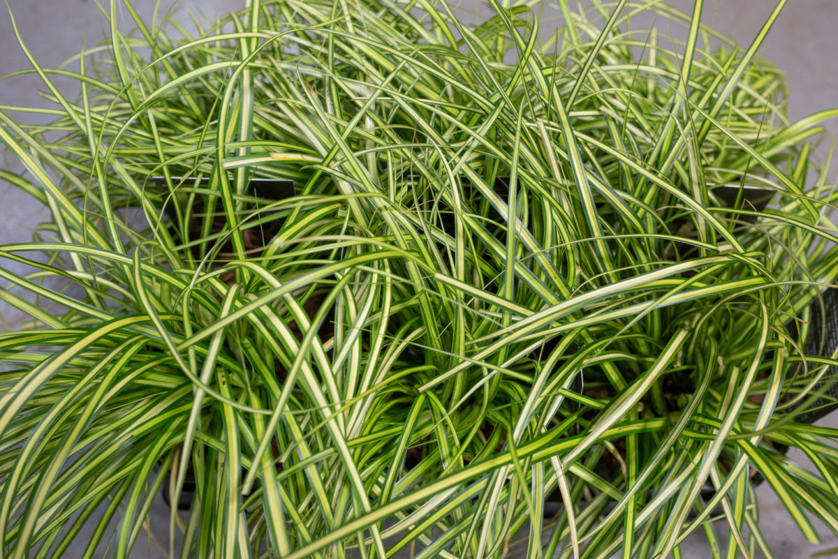New Covent Garden Flower Market Product Profile Report August 2017 Grasses Carex Oshimensis Eversheen Plants At Evergreen