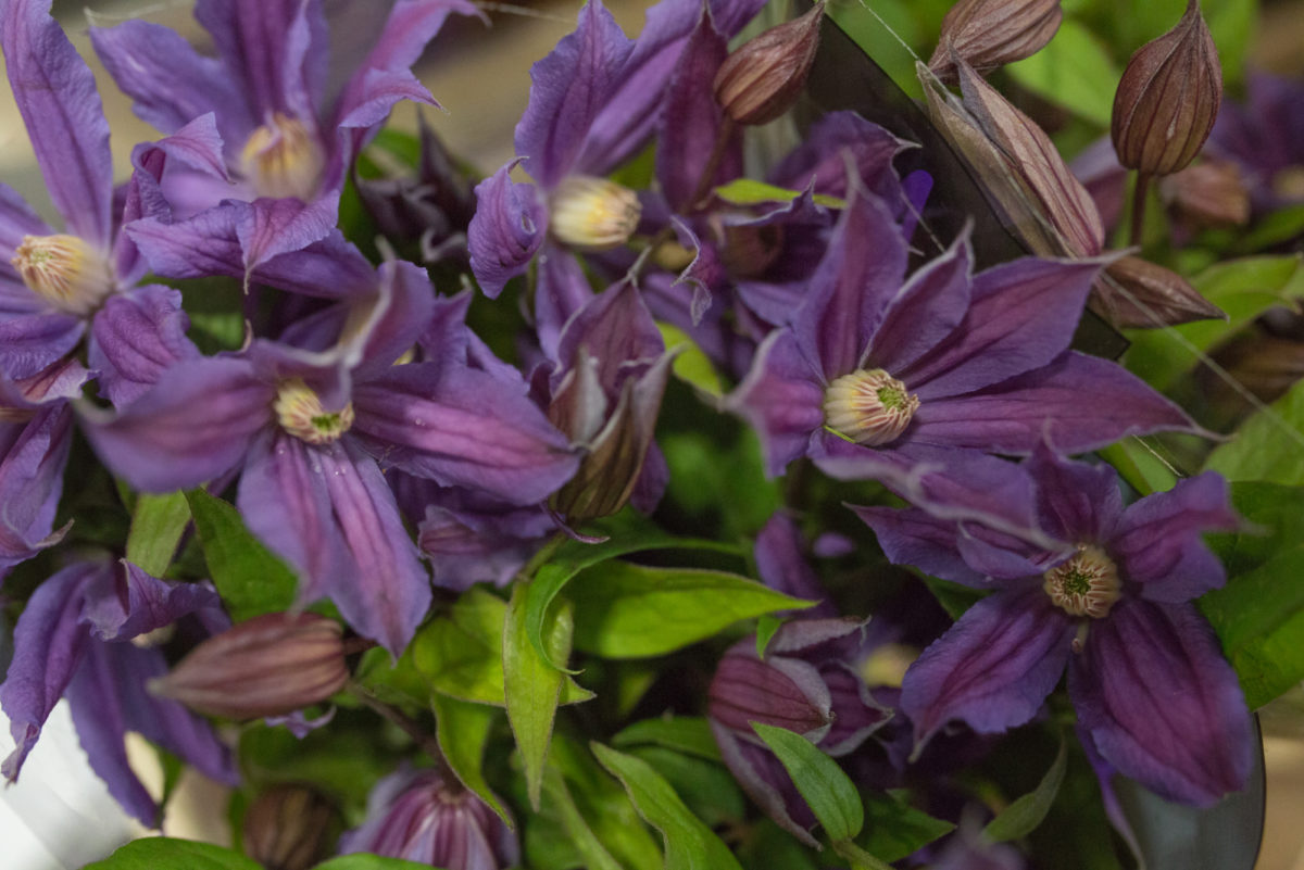 New Covent Garden Flower Market Product Profile Report July 2017 Clematis Amazing Geneva Clematis At Bloomfield