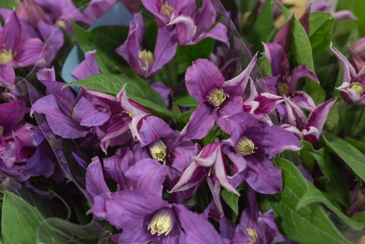 New Covent Garden Flower Market Product Profile Report July 2017 Clematis Amazing Rome Clematis At Bloomfield