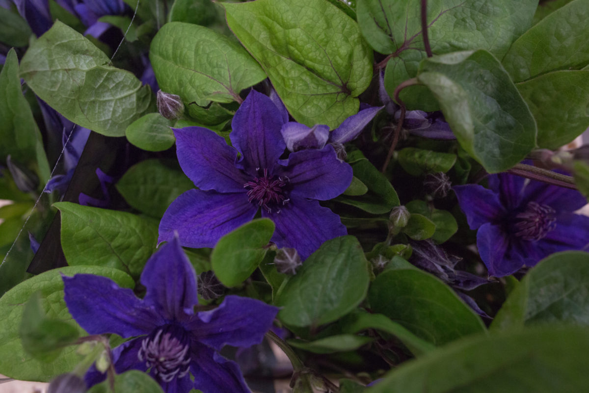New Covent Garden Flower Market Product Profile Report July 2017 Clematis Amazing Toronto Clematis At Bloomfield