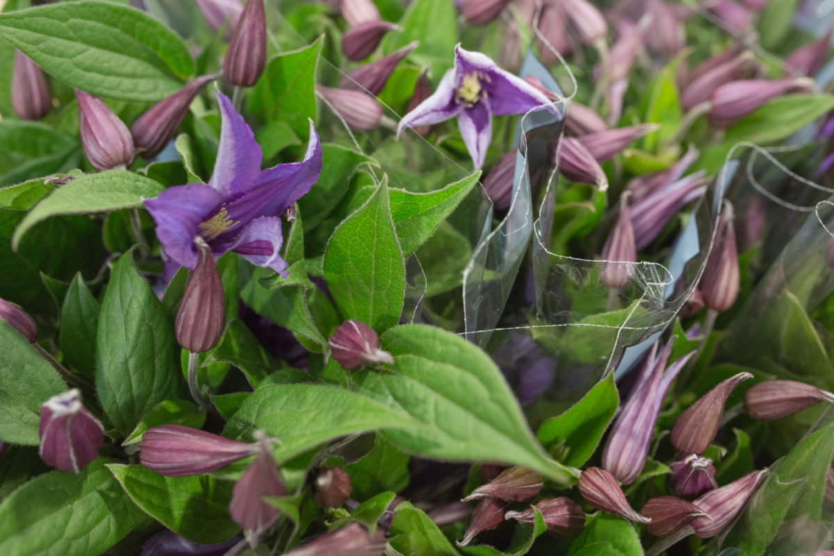 New Covent Garden Flower Market Product Profile Report July 2017 Clematis Blue Pirouette Clematis At Bloomfield