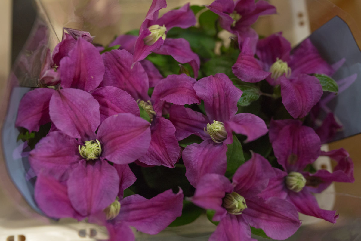 New Covent Garden Flower Market Product Profile Report July 2017 Clematis Inspiration Clematis At Bloomfield