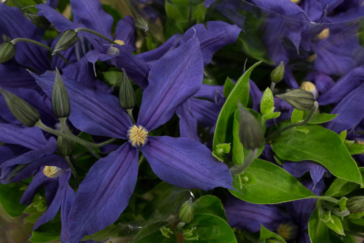 New Covent Garden Flower Market Product Profile Report July 2017 Clematis Large Headed Dutch Grown Clematis Bloomfield