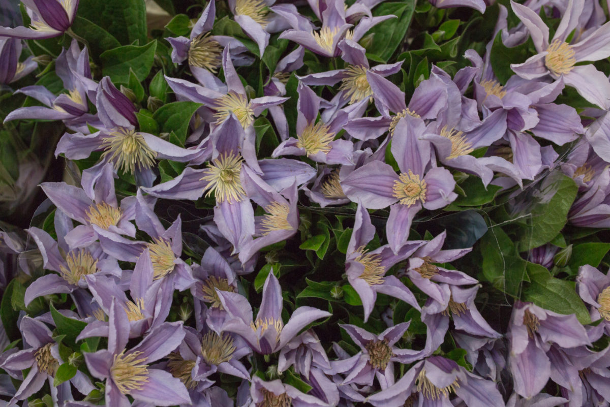New Covent Garden Flower Market Product Profile Report July 2017 Clematis Star River Clematis At Dg Wholesale Flowers 1