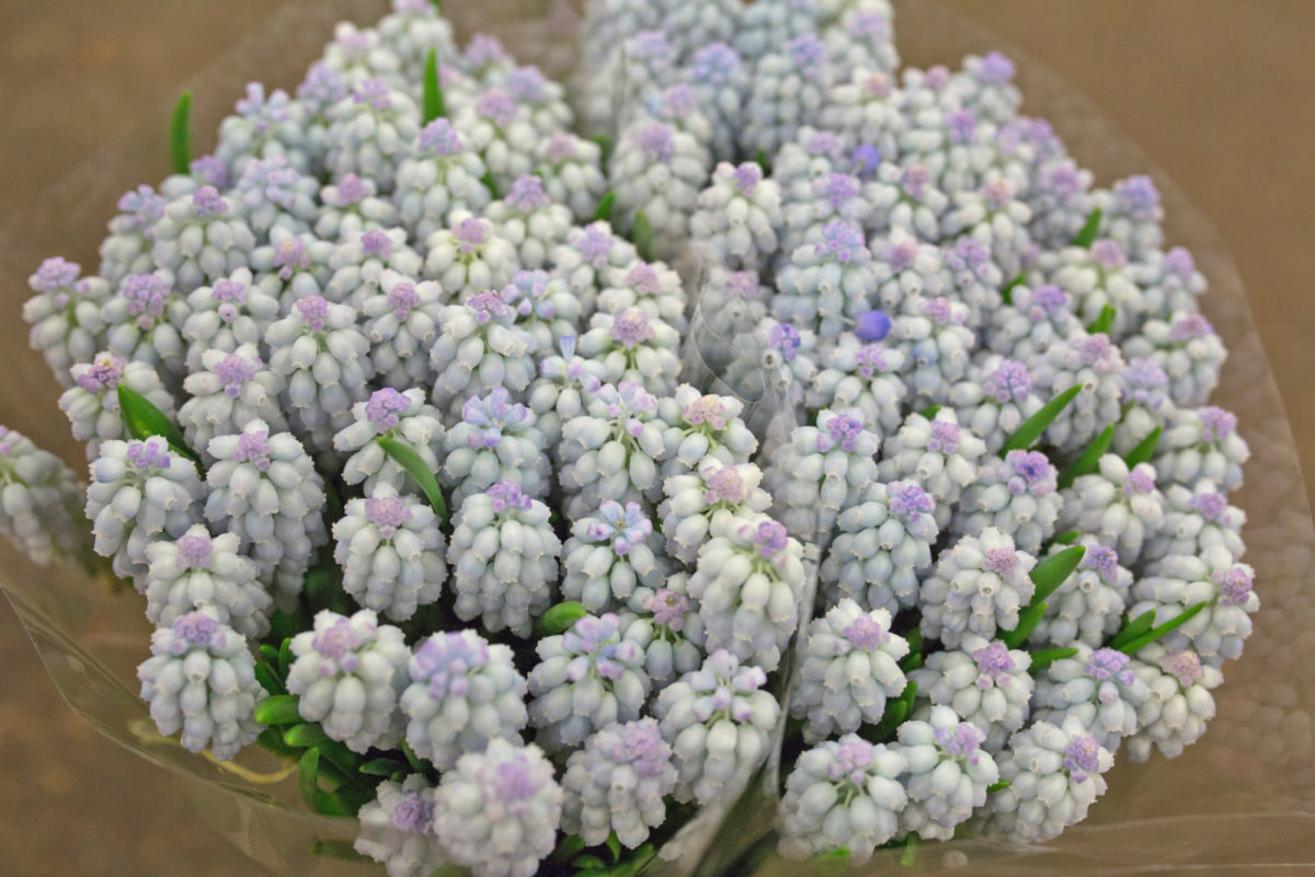 New Covent Garden Flower Market Product Profile Report March 2017 Muscari Rona Wheeldon Flowerona Light Blue At Dennis Edwards