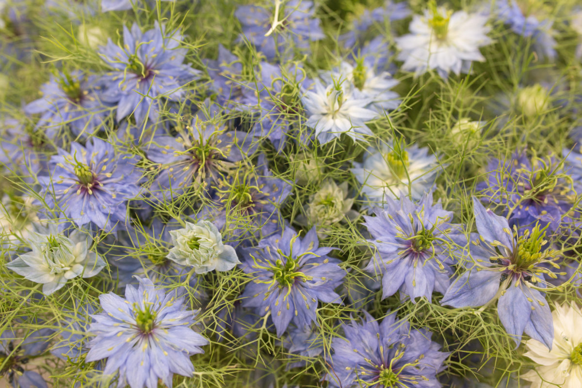 New Covent Garden Flower Market Product Profile Report Nigella June 2017 Rona Wheeldon Flowerona Mid Blue Nigella At Bloomfield