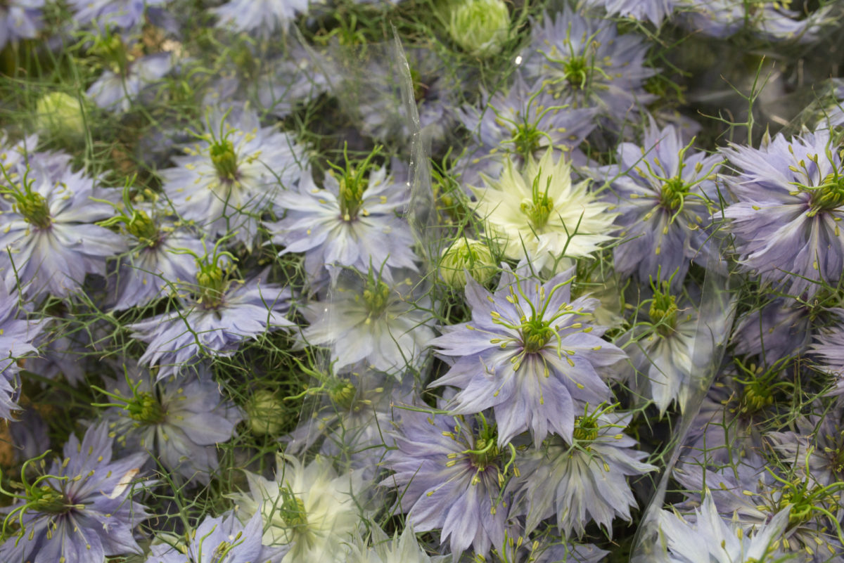 New Covent Garden Flower Market Product Profile Report Nigella June 2017 Rona Wheeldon Flowerona Pale Blue Nigella At Bloomfield 2