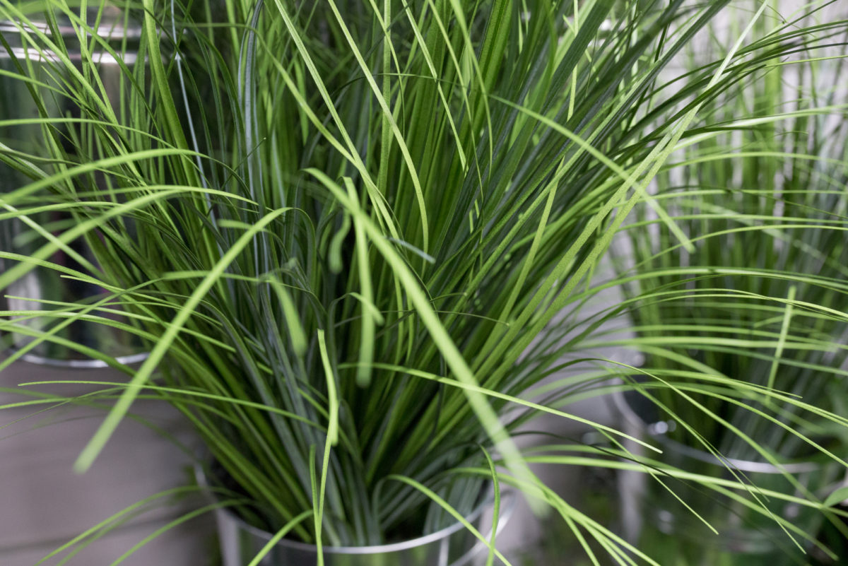 New Covent Garden Flower Market Product Profile Report August 2017 Grasses  Artificial Grasses At Whittingtonsjpg