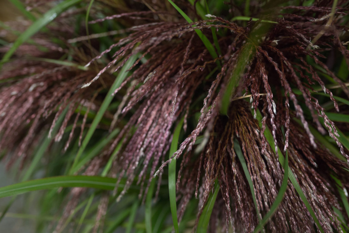 New Covent Garden Flower Market Product Profile Report August 2017 Grasses British Miscanthus At Porters Foliage