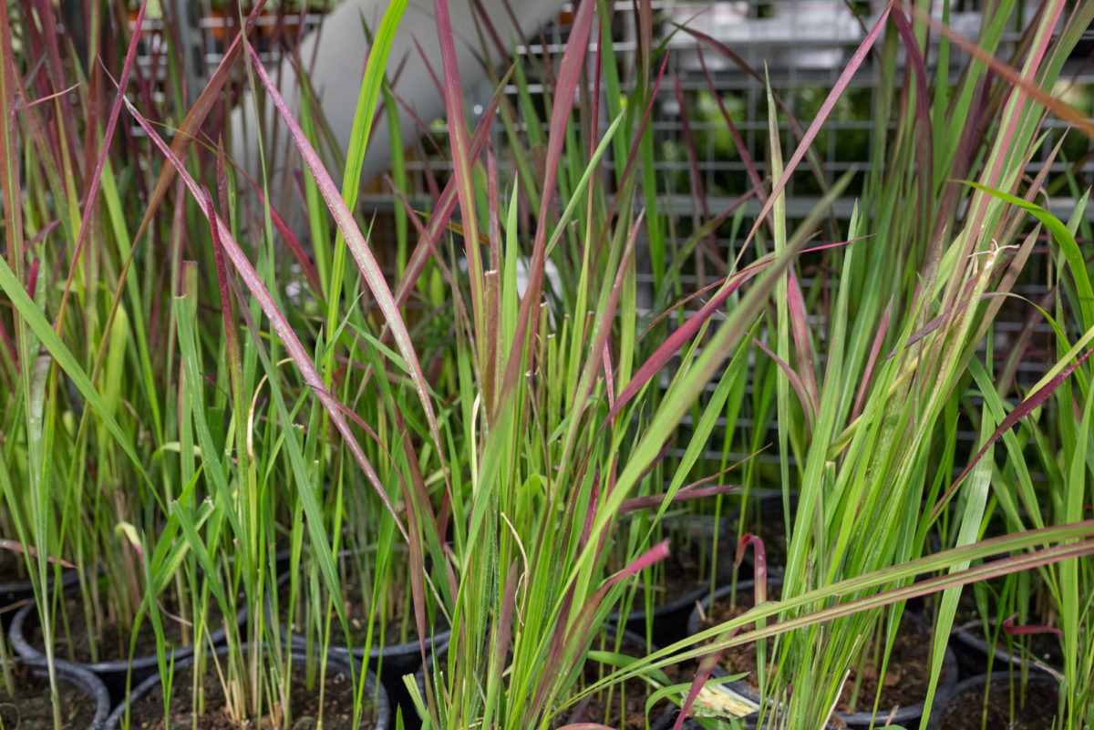 New Covent Garden Flower Market Product Profile Report August 2017 Grasses Imperata Cylindrica Red Baron At L Mills