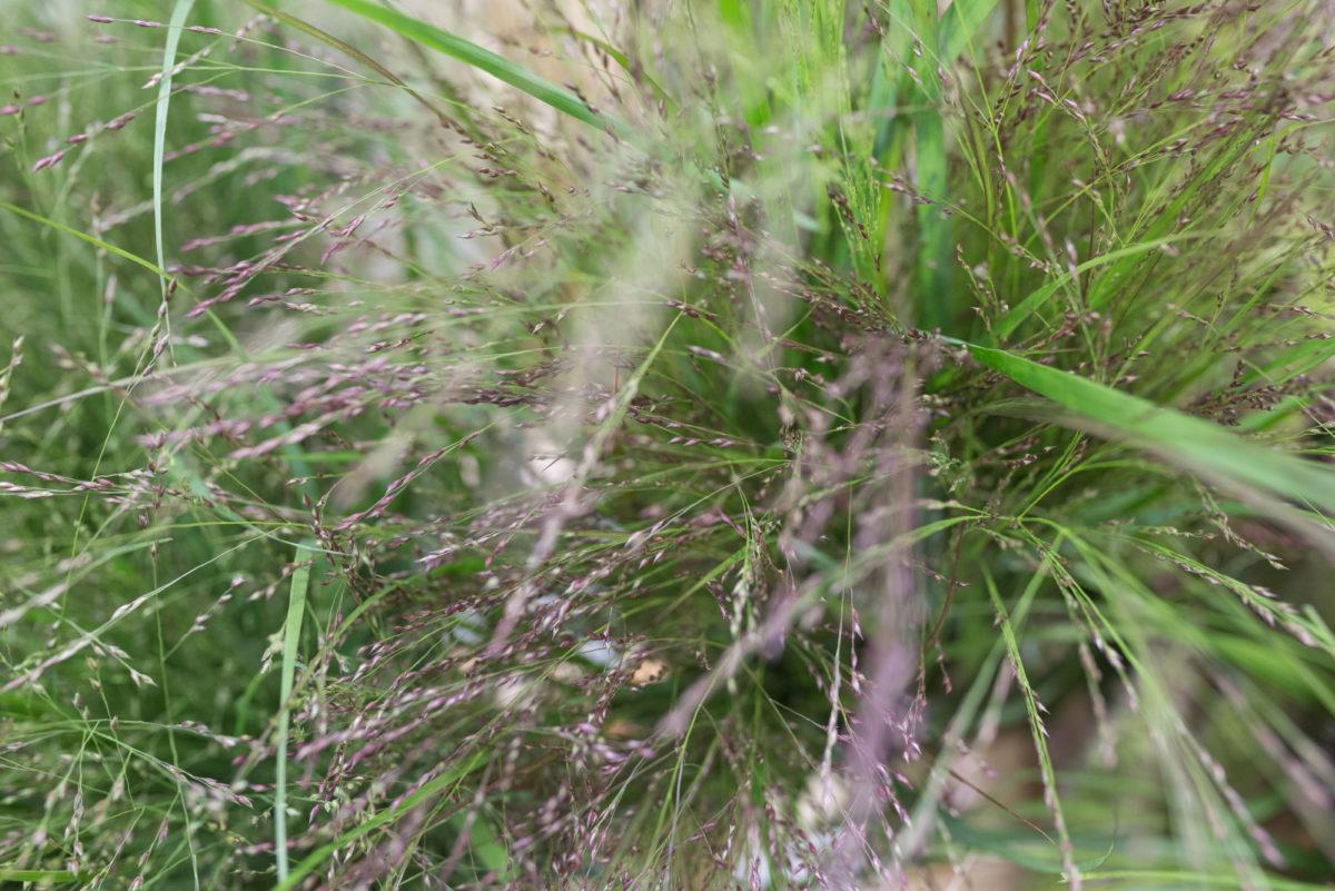 New Covent Garden Flower Market Product Profile Report August 2017 Grasses Panicum Virgatum Squaw At Zest Flowers