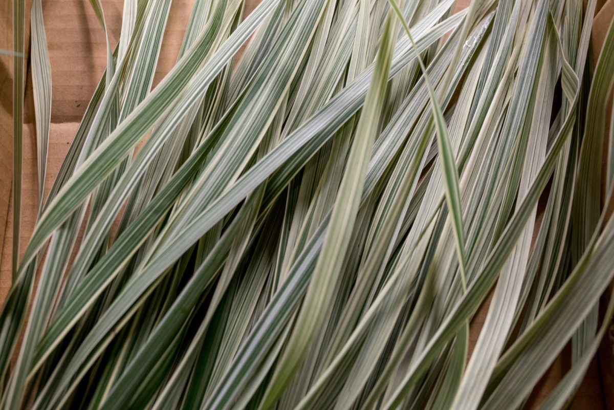New Covent Garden Flower Market Product Profile Report August 2017 Grasses Rona Wheeldon Flowerona China Grass At Porters Foliage
