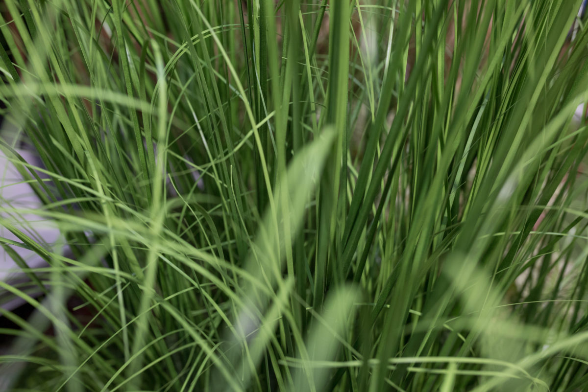 New Covent Garden Flower Market Product Profile Report August 2017 Grasses  Artificial Curly Onion Grass In A Pot At C Best