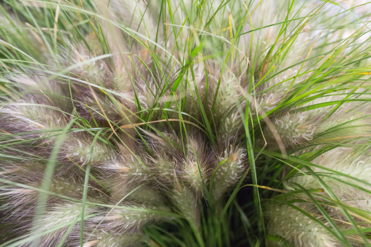 New Covent Garden Flower Market Product Profile Report August 2017 Grasses  British White Cat Tail At Porters Foliage