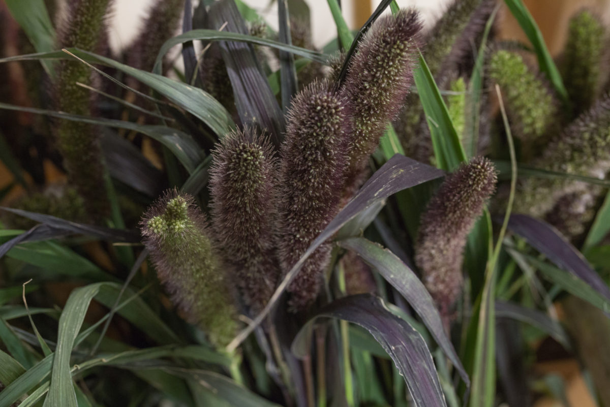 New Covent Garden Flower Market Product Profile Report August 2017 Grasses  Setaria Italica Red Jewel At Dennis Edwards Flowers