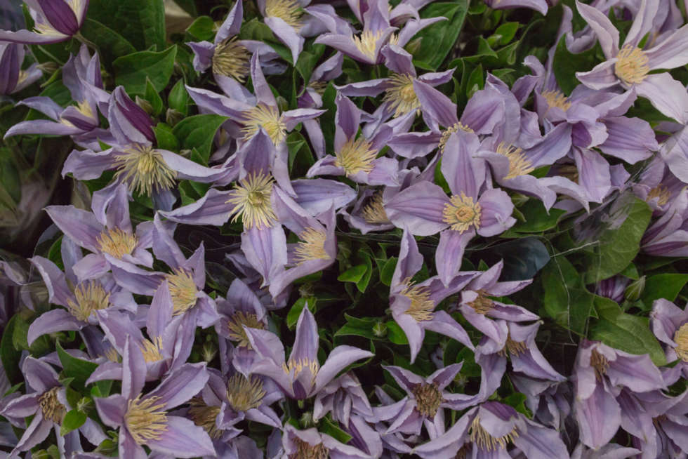 Product Profile: Clematis