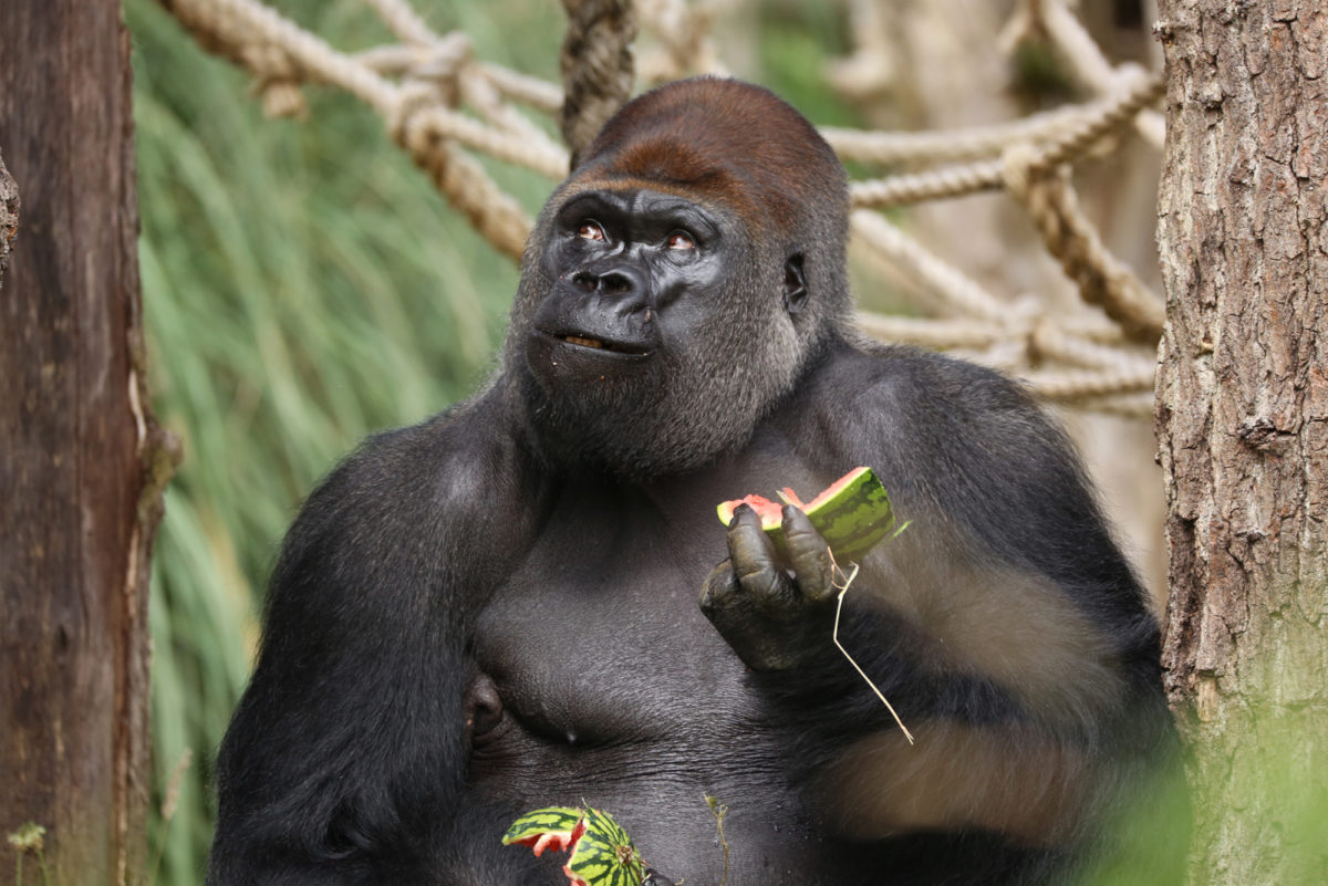 Fruit And Veg Customer Profile May 2017 London Zoo Gorilla