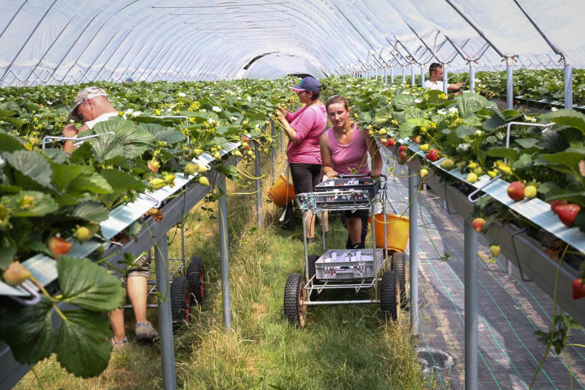 Fruit And Veg Grower Profile June 2017 Hugh Lowe Inside Tunnels
