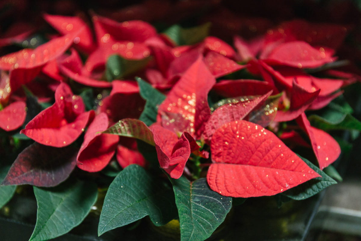 New Covent Garden Flower Market A Florists Guide To Christmas At The Flower Market Rona Wheeldon Flowerona Mini Red Poinsettia Plants At Evergreen November 2017