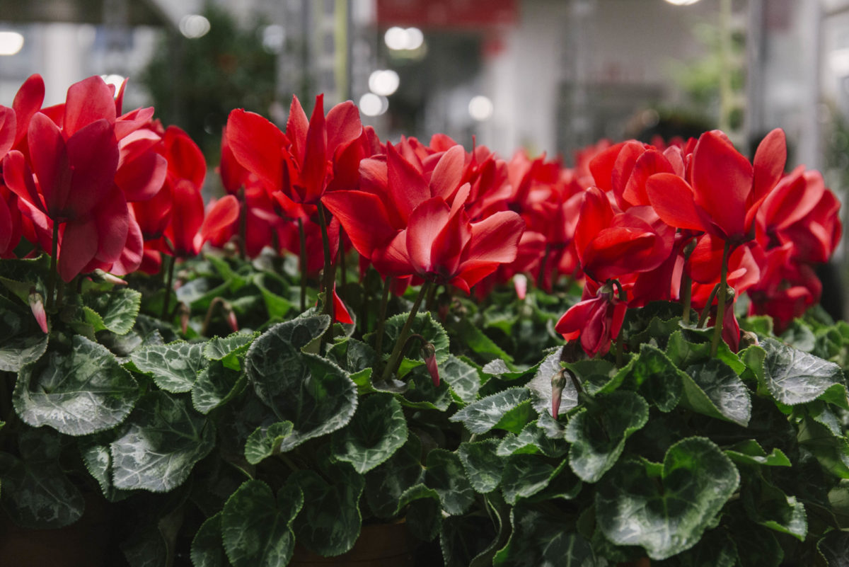 New Covent Garden Flower Market A Florists Guide To Christmas At The Flower Market Rona Wheeldon Flowerona November 2018 Red Cyclamen Plants At Evergreen