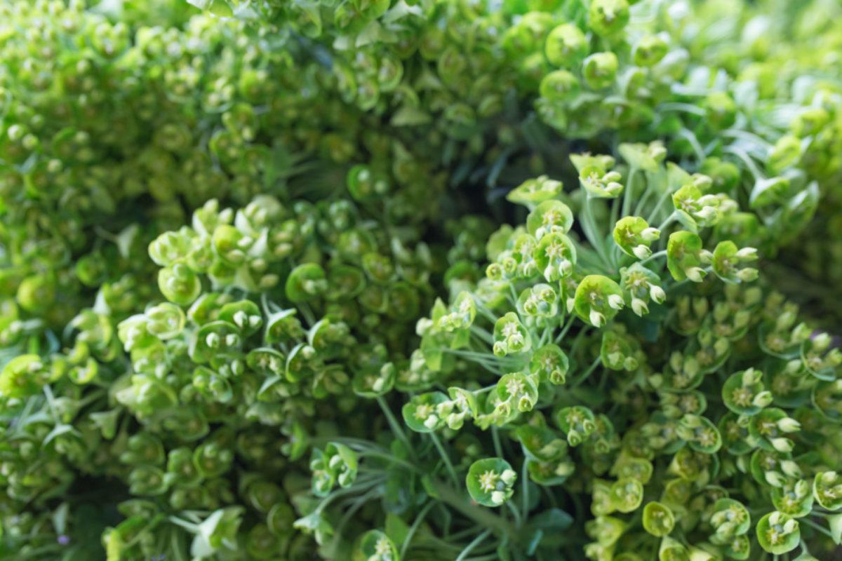 New Covent Garden Flower Market April 2017 Market Report Rona Wheeldon Flowerona British Euphorbia At Gb Foliage