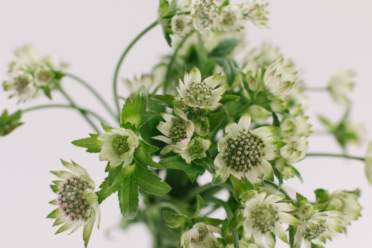 New Covent Garden Flower Market April 2018 A Florists Guide To British Astrantia Rona Wheeldon Flowerona 1