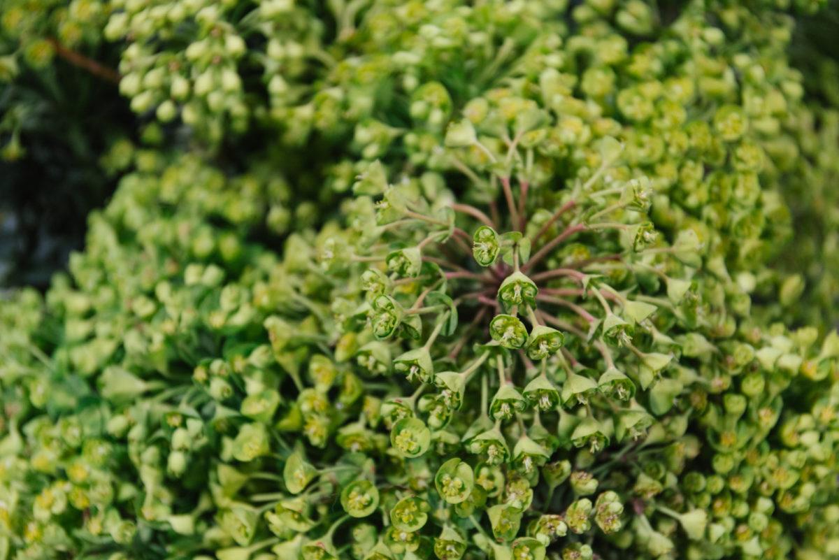 New Covent Garden Flower Market April 2018 In Season Report Rona Wheeldon Flowerona British Euphorbia At Gb Foliage