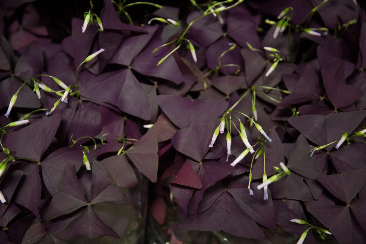 New Covent Garden Flower Market April 2018 In Season Report Rona Wheeldon Flowerona Oxalis Triangularis Plants At Evergreen