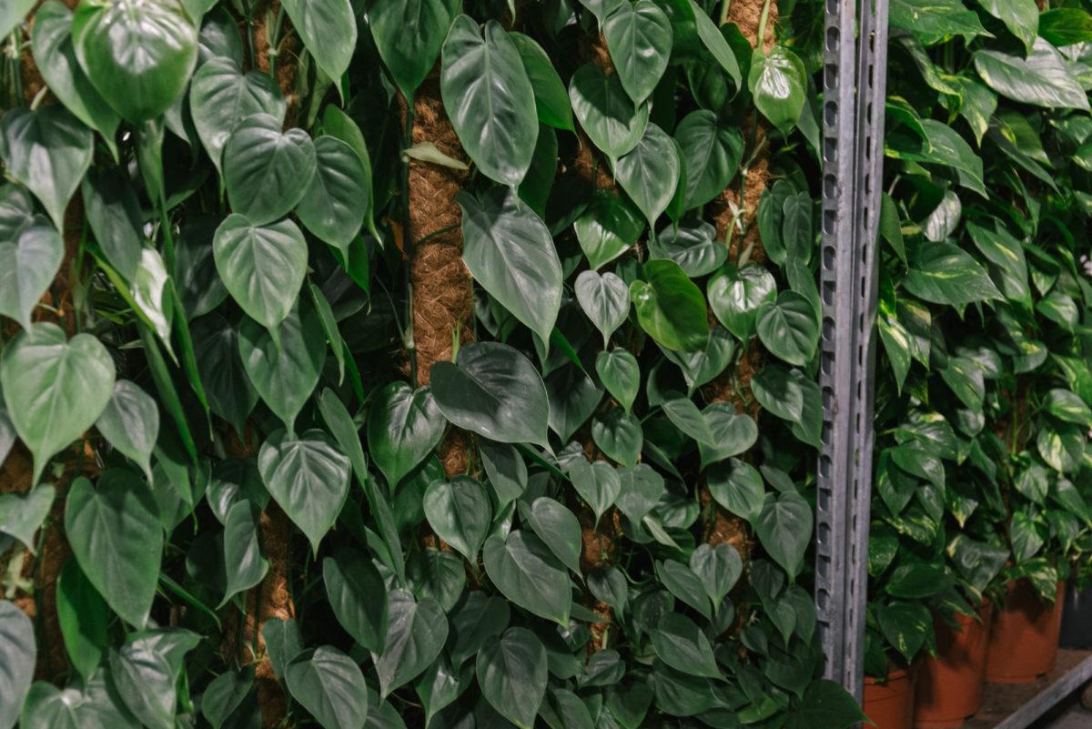 New Covent Garden Flower Market April 2018 In Season Report Rona Wheeldon Flowerona Philodendron Plants At Arnott Mason