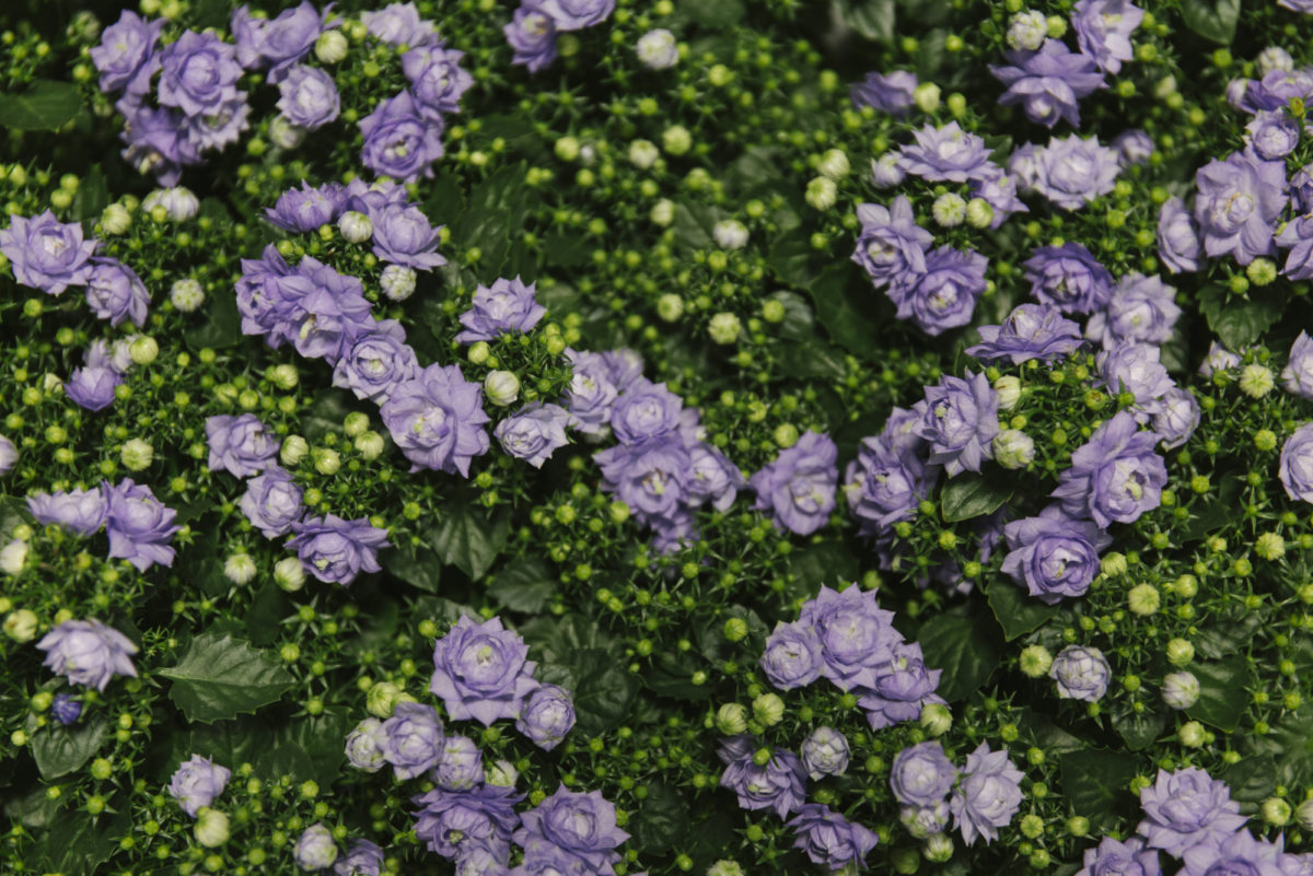 New Covent Garden Flower Market April 2019 In Season Report Rona Wheeldon Flowerona Wheeldon Flowerona Blue White Like Mee Plants At Evergreen