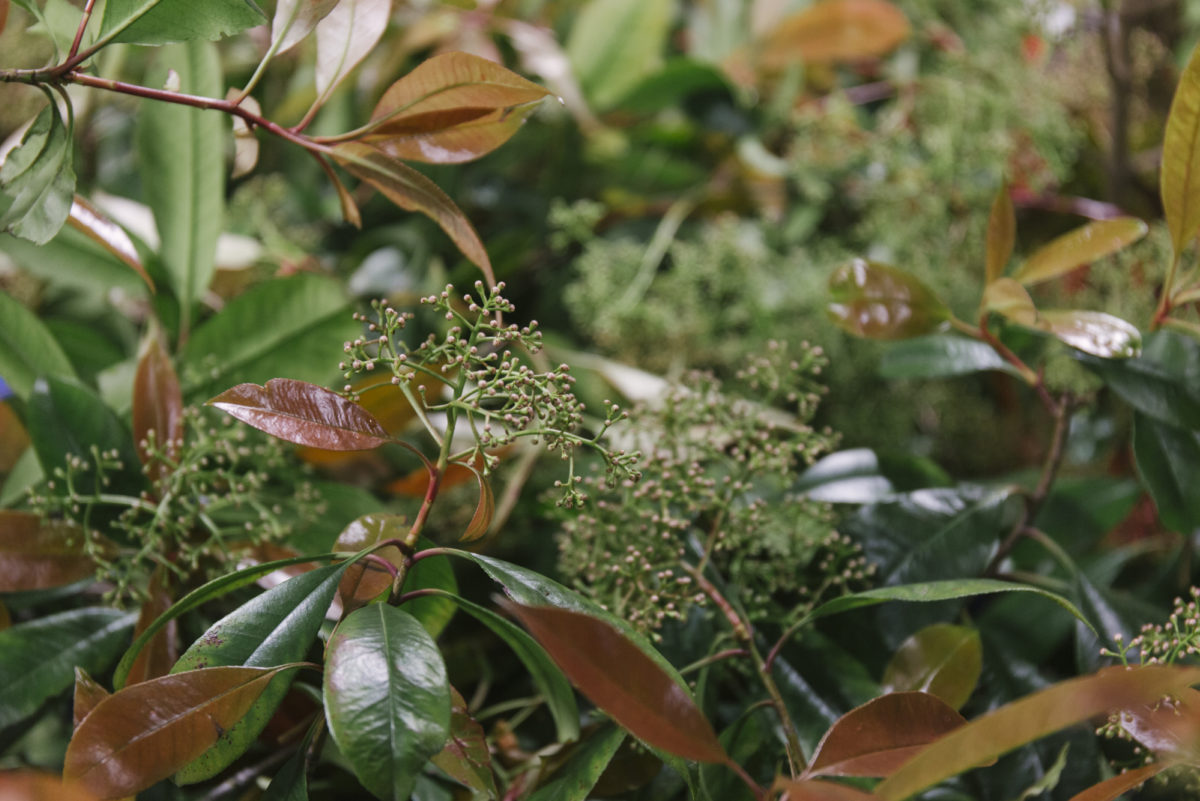 New Covent Garden Flower Market April 2019 In Season Report Rona Wheeldon Flowerona Wheeldon Flowerona British Photinia At Gb Foliage