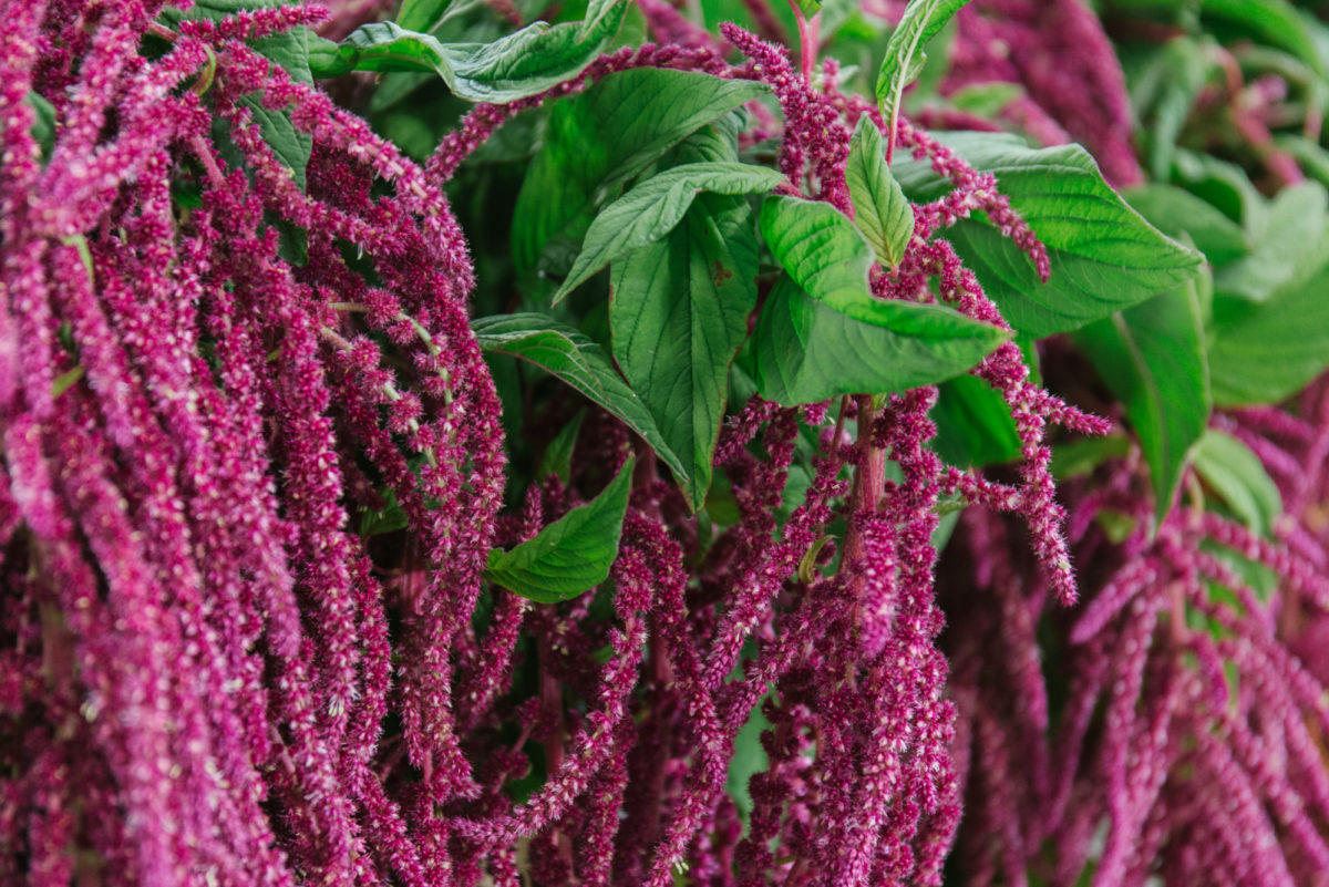 New Covent Garden Flower Market August 2018 In Season Report Rona Wheeldon Flowerona British Amaranthus Caudatus Aka Love Lies Bleeding At Zest Flowers