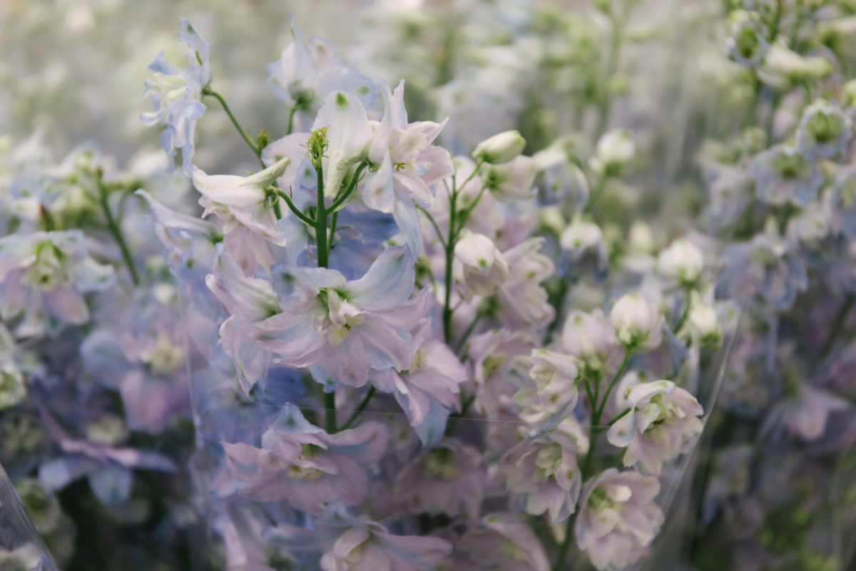 New Covent Garden Flower Market August 2018 In Season Report Rona Wheeldon Flowerona British Delphiniums At Dg Wholesale Flowers