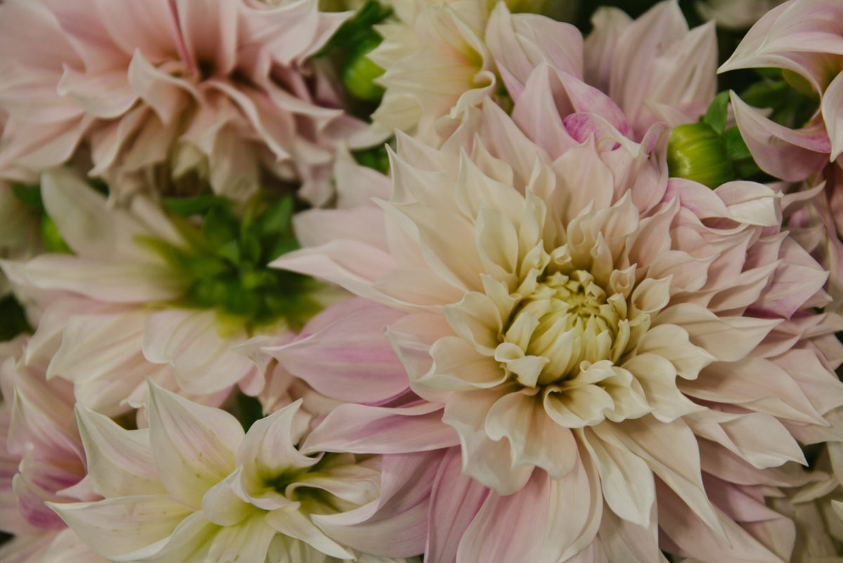 New Covent Garden Flower Market August 2018 In Season Report Rona Wheeldon Flowerona Cafe Au Lait Dahlias At Zest Flowers