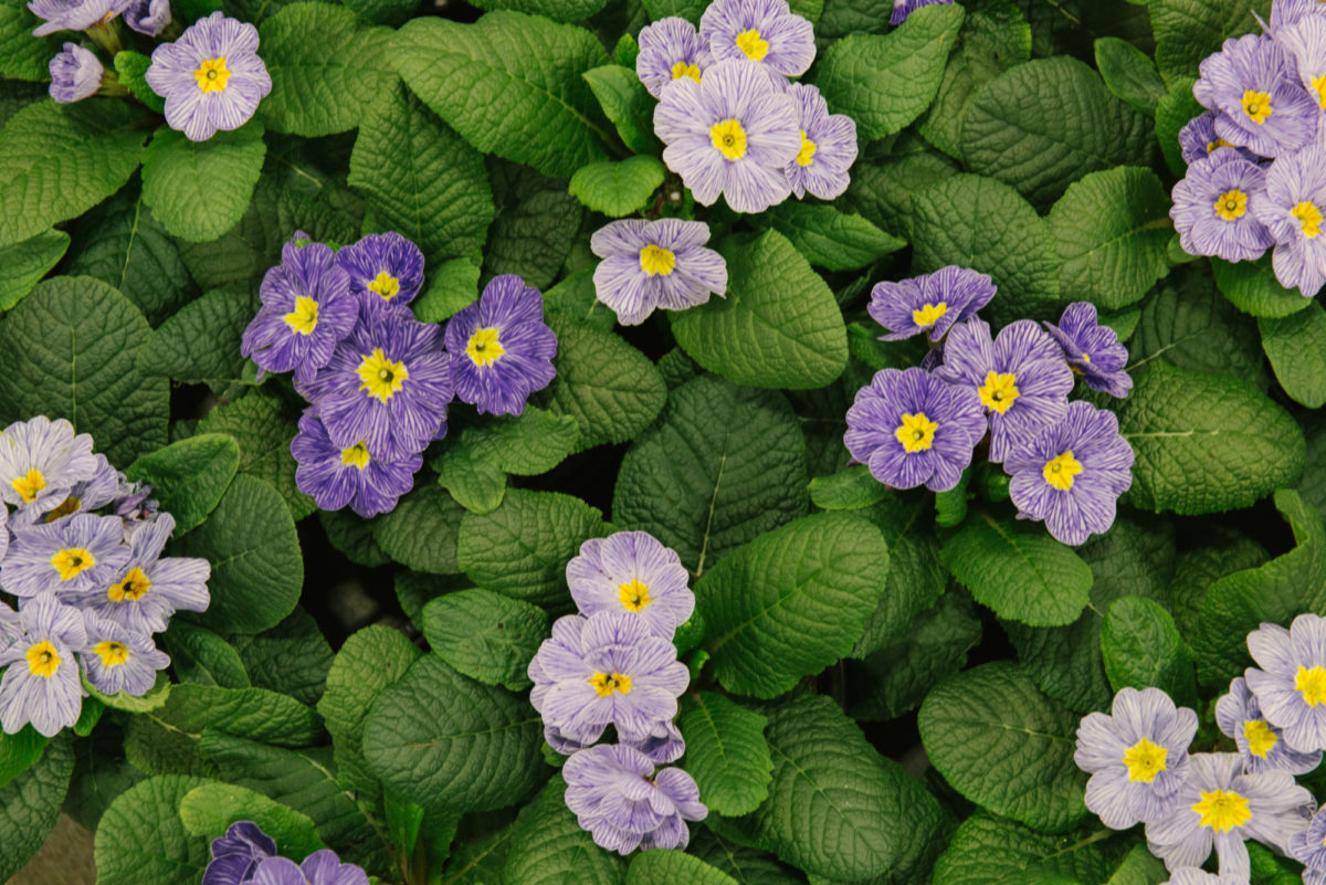 New Covent Garden Flower Market February 2018 In Season Report Rona Wheeldon Flowerona British Primula Acaulis Zebra Blue Plants At L Mills