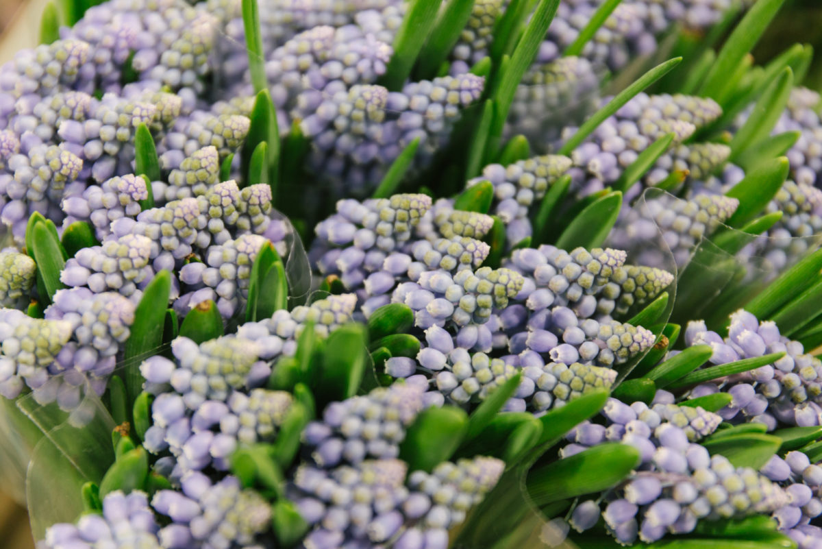 New Covent Garden Flower Market February 2018 In Season Report Rona Wheeldon Flowerona Muscari Armeniacum At Bloomfield
