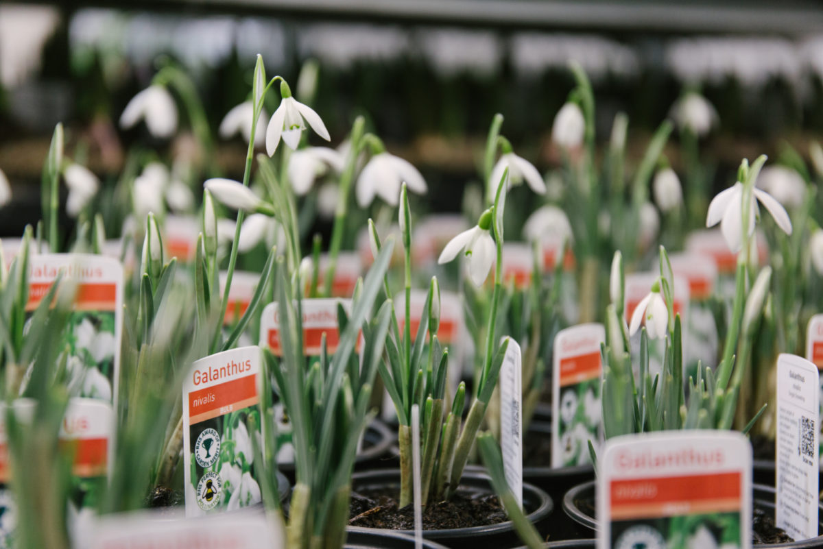 New Covent Garden Flower Market February 2018 In Season Report Rona Wheeldon Flowerona Snowdrop Plants At Evergreen