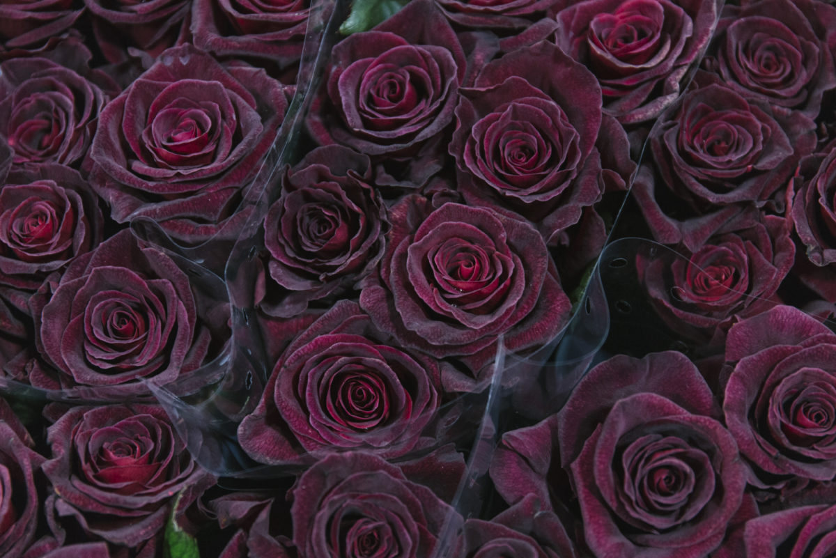 New Covent Garden Flower Market February 2019 In Season Report Rona Wheeldon Flowerona Black Baccara Rose At Bloomfield