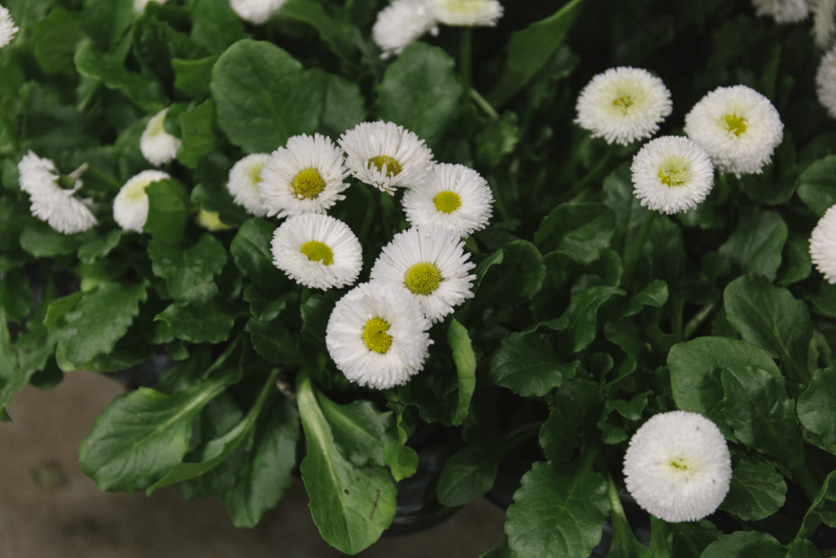 New Covent Garden Flower Market February 2019 In Season Report Rona Wheeldon Flowerona British Bellis Plants At L Mills
