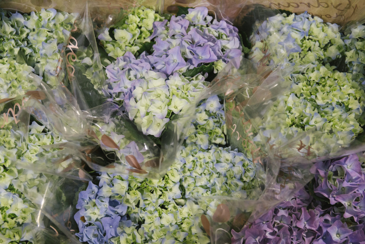New Covent Garden Flower Market February 2019 In Season Report Rona Wheeldon Flowerona Hydrangea Macrophylla Plants At Arnott Mason