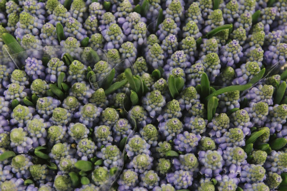 New Covent Garden Flower Market February 2019 In Season Report Rona Wheeldon Flowerona Muscari Armeniacum At Dennis Edwards Flowers